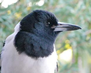 Pied Butherbird